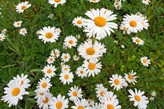 Blumenhintergrund mit camomiles Stockfotos