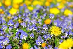 Blumenhintergrund mit den blauen und gelben Blumen Lizenzfreie Stockfotografie