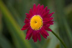 Blumenhintergrund mit einem roten Gänseblümchen Stockfotografie