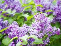 Blumenhintergrund mit Flieder Lizenzfreie Stockfotografie