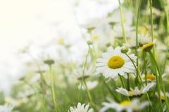 Blumenhintergrund mit Gänseblümchen Stockbild