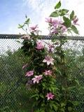 Blumenhintergrund mit lila Klematis auf einer Plastikmasche neigt zum Himmel Lizenzfreie Stockfotos