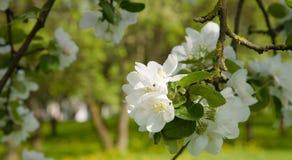 Blumenhintergrund mit Niederlassung von Apple blüht Nahaufnahme Stockbild
