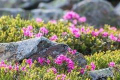 Blumenhintergrund mit Rhododendron Lizenzfreie Stockfotografie