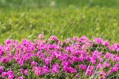 Blumenhintergrund mit Rhododendron Lizenzfreie Stockbilder