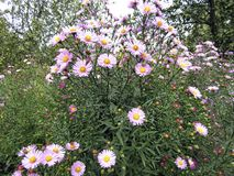 Blumenhintergrund mit schönen rosa Blumen im Garten Lizenzfreie Stockfotos