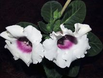 Blumenhintergrund mit weißem Sinningia Stockbilder