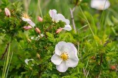 Blumenhintergrund mit weißen Blumen Stockfoto