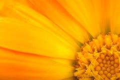 Blumenhintergrund: Nahaufnahmeschuß Stockfotografie