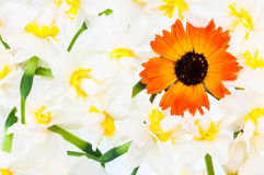 Blumenhintergrund - Narzisse, Calendula Lizenzfreies Stockbild