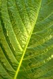 Blumenhintergrund - Oberfläche des Blattes einer Anlage Stockfotos