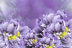 Blumenhintergrundveilchenpfingstrosen Blüht Nahaufnahme auf einem purpurroten Hintergrund Tulpen und Winde auf einem weißen Hinte lizenzfreies stockbild