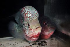 Blumenhornfische lizenzfreies stockfoto