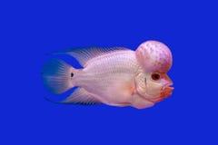 Blumenhornfische Lizenzfreie Stockbilder