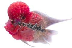 Blumenhornfische lizenzfreie stockfotos