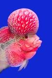 Blumenhornfische stockbild