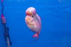 Blumenhornfische stockfoto