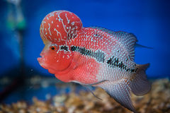 Blumenhornfische stockfotografie