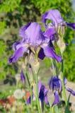 Blumeniris im Garten Stockfotos