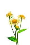 Blumenisolat des echten Alants auf einem weißen Hintergrund Stockfotos