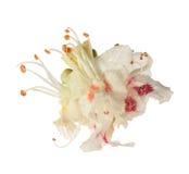 Blumenisolator der Rosskastanie (Aesculus hippocastanum, Conkerbaum) Stockbilder