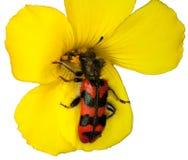 Blumenkäfer Stockbild