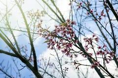 Blumenkönigintiger Kirschblüte Thailand Lizenzfreies Stockfoto
