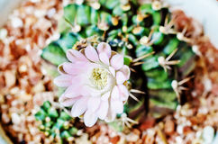 Blumenkaktus. Stockfotografie