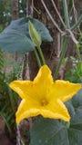 Blumenkantalupe Lizenzfreie Stockbilder