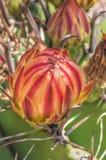 Blumenknospe des Ferocactus Stockfotos
