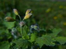Blumenknospe des größeren Celandine - Chelidonium Majus Lizenzfreie Stockfotografie
