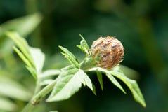 Blumenknospe des WhitewashCornflower lizenzfreie stockfotografie