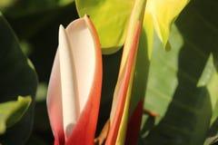 Blumenknospe, die beginnt, im Garten zu blühen Lizenzfreie Stockfotos