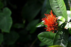 Blumenknospe Ixora Coccinea Stockfotos