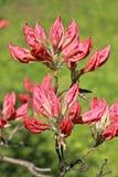 Blumenknospen des Rhododendrons Lizenzfreies Stockbild