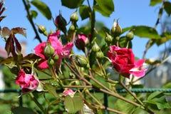 Blumenknospen von Rosen Lizenzfreie Stockfotos