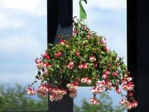 Blumenkorb mit Anlage des blutenden Herzens Lizenzfreies Stockfoto
