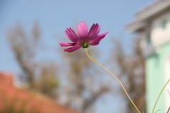 Blumenkosmos Lizenzfreies Stockfoto
