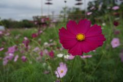 Blumenkosmos Lizenzfreies Stockbild