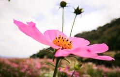 Blumenkosmos pinkflower Himmel Stockfoto
