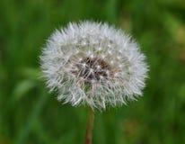 Blumenlöwenzahn Stockbild