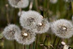 Blumenlöwenzahn an einem schönen Tag Stockfotografie
