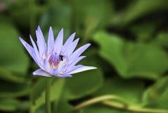 Blumenlotos Lizenzfreie Stockfotografie