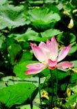 Blumenlotos von Vietnam Lizenzfreies Stockbild