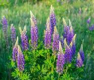 Blumenlupinengras Lizenzfreies Stockbild
