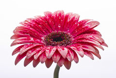 Blumenmakro mit Wassertröpfchen Lizenzfreie Stockfotos