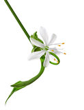 Blumennahaufnahme, Chlorophytum Lizenzfreies Stockfoto