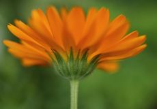 Blumennahaufnahmegrün bokeh Hintergrund-Blütenmakro des Calendula orange Stockfoto