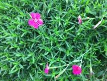 Blumennelken des Grases, vor dem hintergrund des üppigen Grüns stockfotos