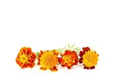 Blumenorangenringelblume Lizenzfreie Stockbilder